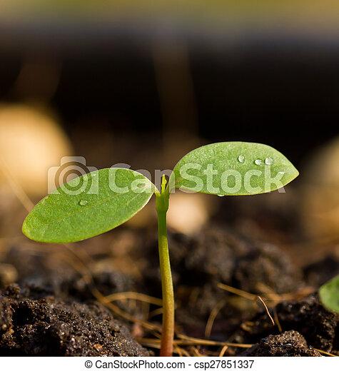 Semillas verdes creciendo - csp27851337