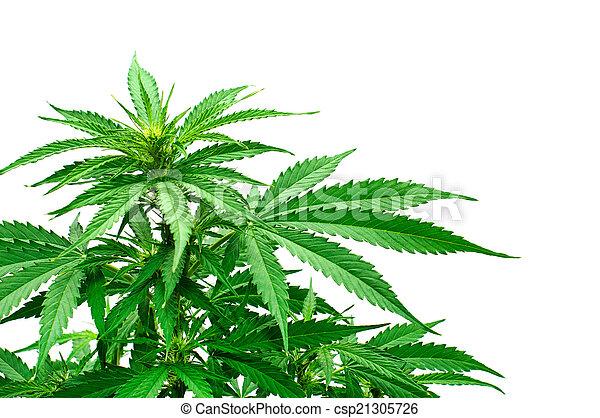 planta, detalhe, marijuana - csp21305726