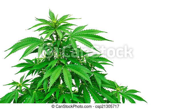 planta, detalhe, marijuana - csp21305717