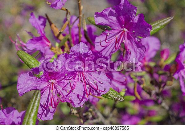 Flor Ledum palustre Rhododendron tomentosum planta de cerca - csp46837585