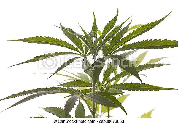 planta, folhas, marijuana, fundo, fresco, branca - csp38073663