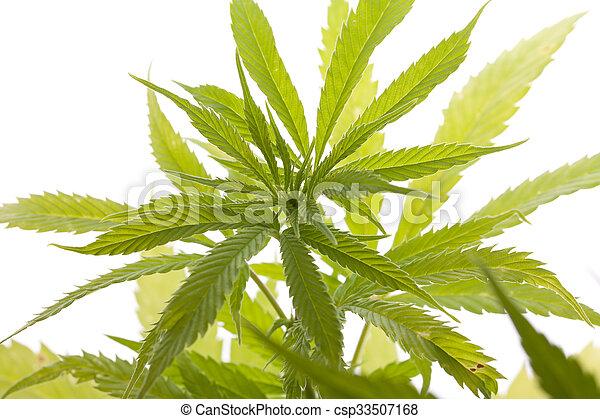 planta, folhas, marijuana, fundo, fresco, branca - csp33507168