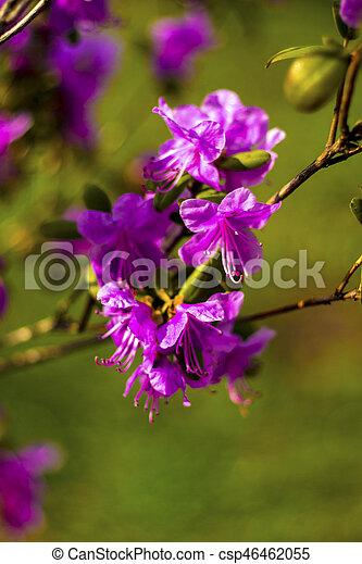 Ledum. Ledum palustre (Rhododendron tomentosum) planta en el bosque - csp46462055