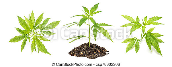 planta maconha, cânhamo, marijuana, leaves. - csp78602306