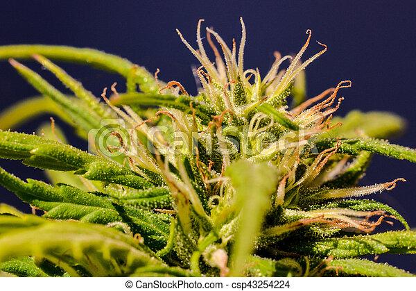 planta maconha, folha, marijuana, detalhe - csp43254224