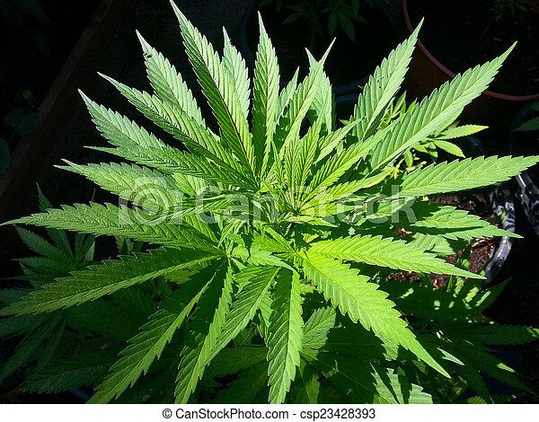 planta maconha, ou, marijuana, jovem - csp23428393