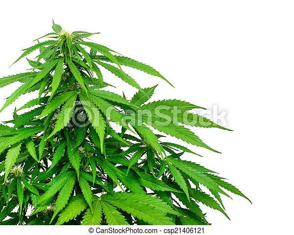 planta, marijuana - csp21406121