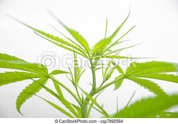 planta, marijuana - csp7892564