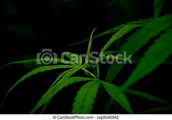 planta, marijuana - csp8345842