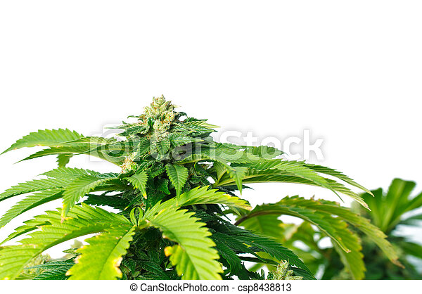 planta, marijuana - csp8438813