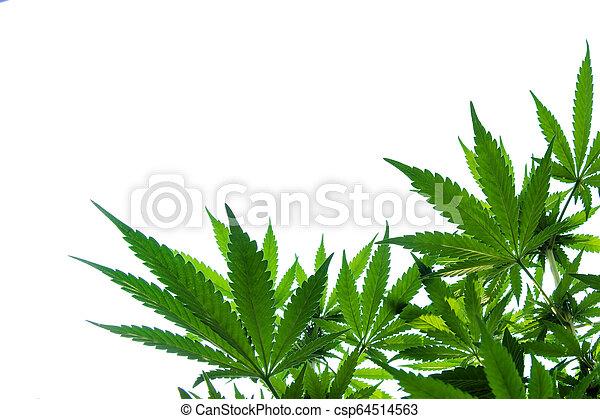 planta, marijuana - csp64514563