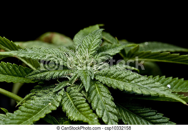 planta, marijuana - csp10332158