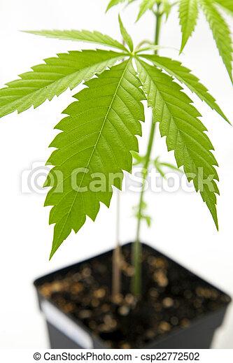 planta, marijuana - csp22772502