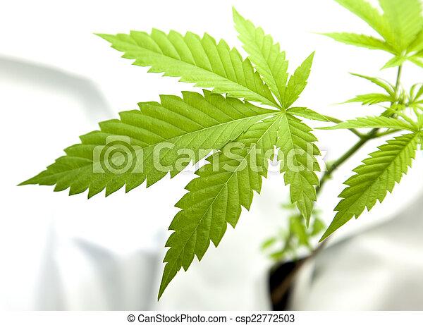 planta, marijuana - csp22772503