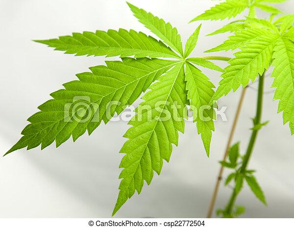 planta, marijuana - csp22772504