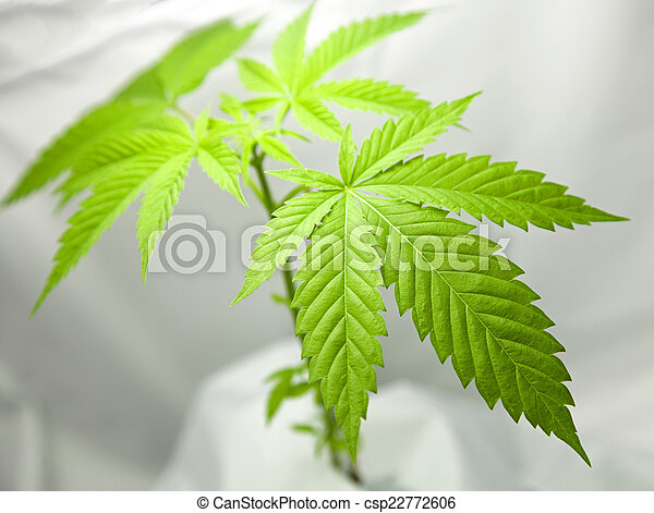 planta, marijuana - csp22772606
