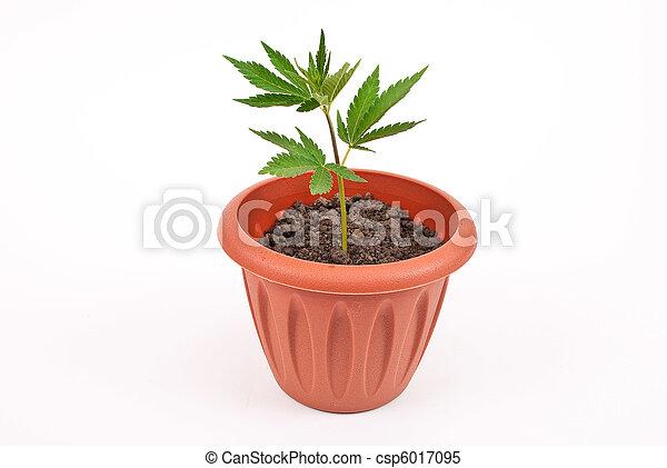 planta marijuana - csp6017095