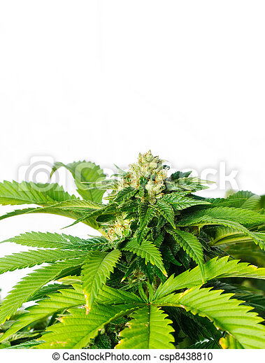 planta, marijuana - csp8438810