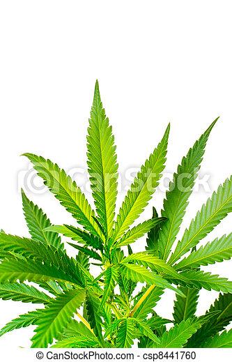 planta marijuana - csp8441760