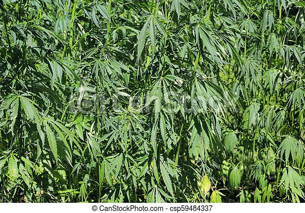 planta, marijuana), cannabis, verde, (hemp, fresco - csp59484337