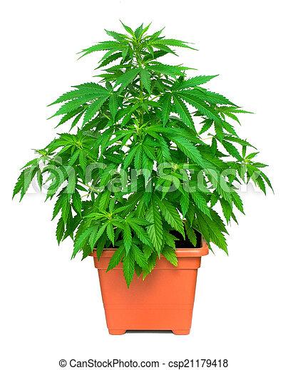 planta, marijuana - csp21179418