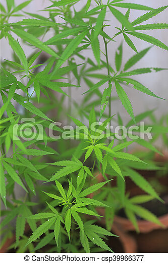 planta, marijuana - csp39966377