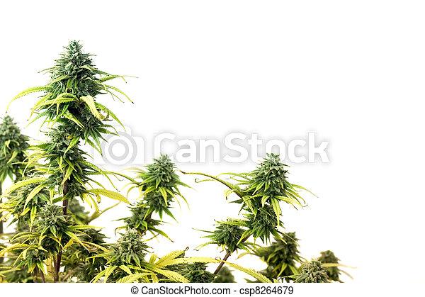 planta, marijuana - csp8264679