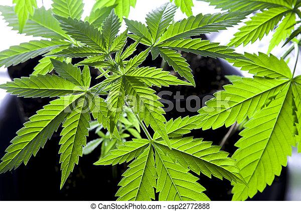 planta, marijuana - csp22772888
