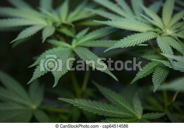 planta, marijuana - csp64514586