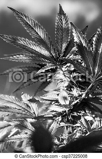 planta medicinal, closeup, marijuana - csp37225008