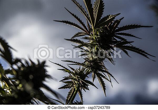 planta medicinal, closeup, marijuana - csp37243789