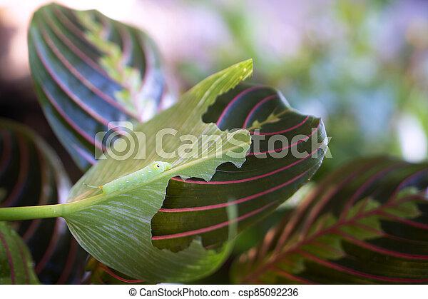 planta, oración, comer, o, mariposa, crisálida, maranta, hojas - csp85092236