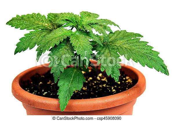 planta, panela flor, marijuana, isolado, fundo, branca - csp45908090
