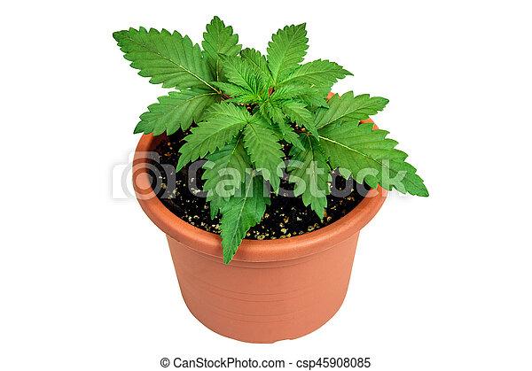 planta, panela flor, marijuana, isolado, fundo, branca - csp45908085