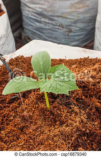 Planta de pepino verde sembrando en cacao - csp16879340