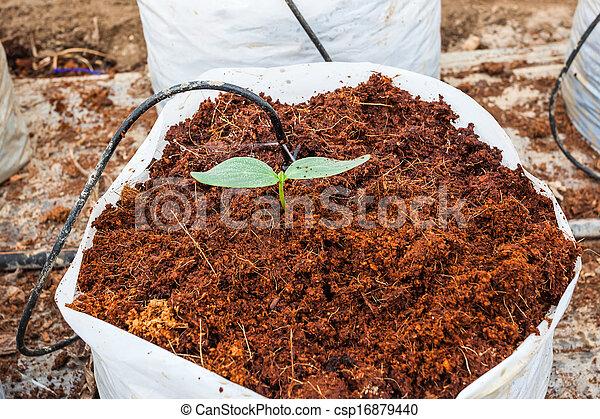 Planta de pepinos verdes sembrando cacao - csp16879440