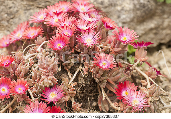 Planta Suculenta Flores Anacampseros