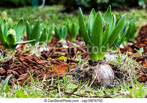 Plantación de jacinto - csp18876702