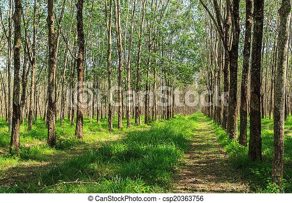 plantage, gummi, reihen, baum, bäume - csp20363756