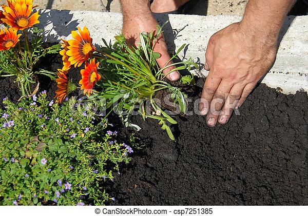 Plantar, flores. Gazania, flor, solo, flowerbed, pretas,... estoque ...