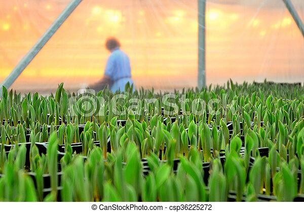 plantar, flores, estufa - csp36225272
