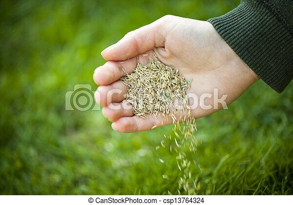 plantar las semillas, pasto o césped, mano - csp13764324
