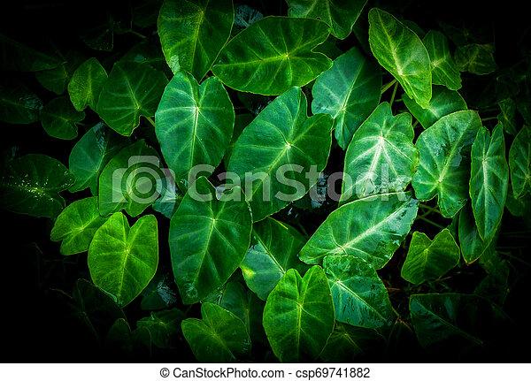 Caladio bicolor hoja de taro verde araceae / plantas verdes hierbas de agua en el bosque tropical en la oscuridad - csp69741882