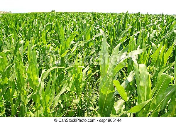 plantas, milho, plantação, campo, verde, agricultura - csp4905144