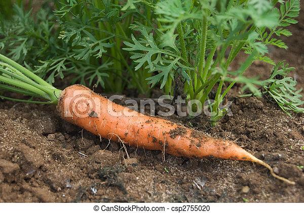 Zanahoria Y Plantas La Zanahoria Fresca Esta En Un Campo Canstock Cuando utilizamos la palabra zanahoria, nos podemos referir tanto a la planta daucus carota, como a la raíz de ésta, que es lo más frecuente. zanahoria fresca esta en un campo