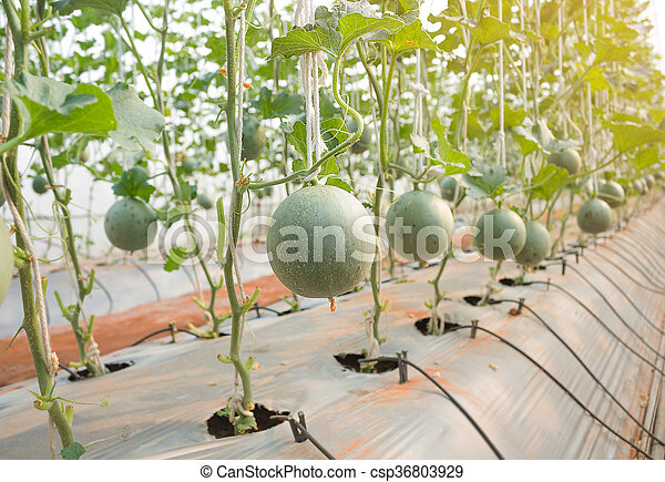 Plantation greenhouse melon photo de stock rechercher images et clipart csp36803929 - Culture du melon en serre ...