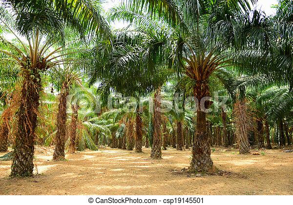 plantation, palme huile - csp19145501