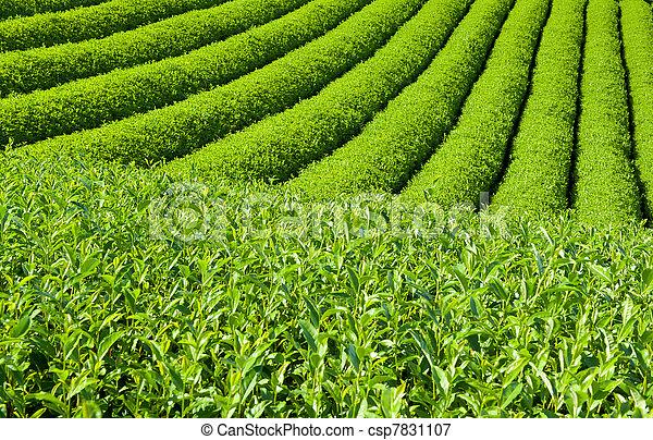 plantation, thé - csp7831107