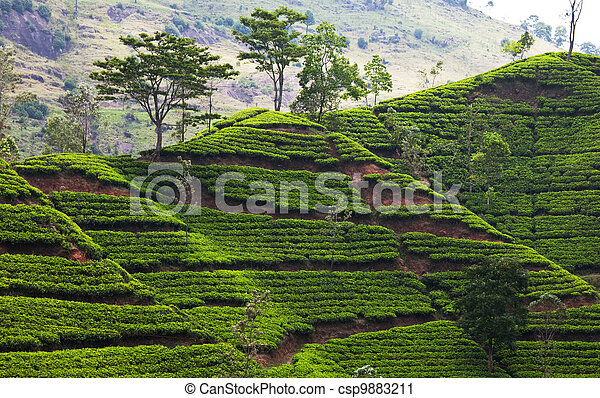 plantation, thé - csp9883211