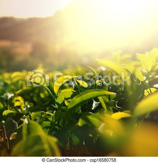 plantation, thé - csp16580758